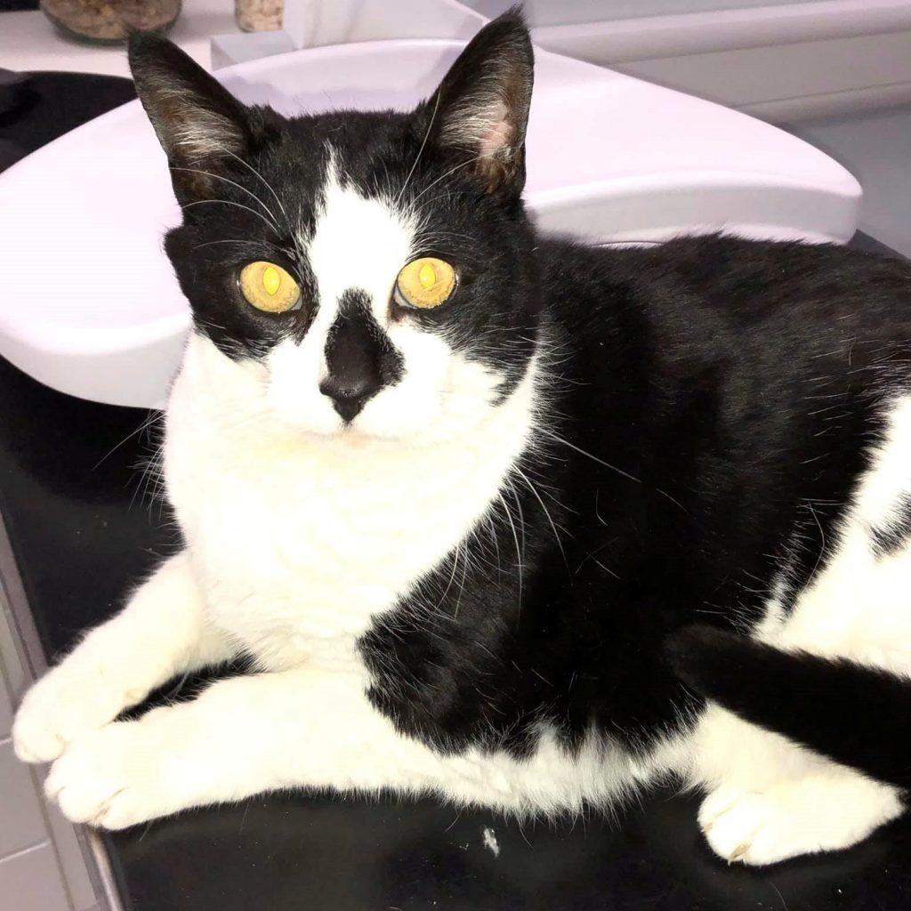 Black and white cat, yellow eyes