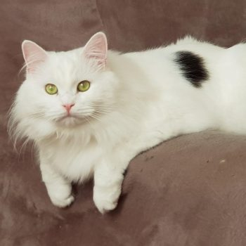 Long haired white cat with black spot on back